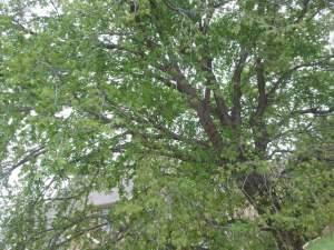 tree, green tree