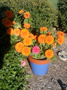 fall flowers. flowers in a pot, potted flowers